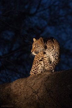 Sabie Sands Leopard Cub by Lee Bothma on Beautiful Cats, Animals Beautiful, Wildlife Photography, Animal Photography, African Big Cats, Animals And Pets, Cute Animals, Safari Animals, Leopard Cub