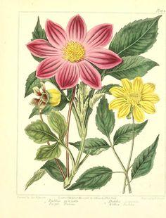 Free vintage botanical artworks