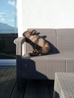 Gotta get some sun, classic French Bulldog