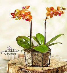 Sunset Garden Orchid