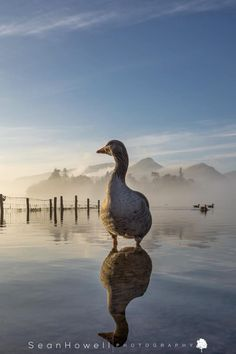 Fabulous photo of Derwent water. taken by Sean Howell. Cumbria, Lake District, The Locals, Wildlife, England, Photographs, Photos, Lakes, Reflection