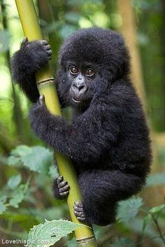 Gorilla Baby cute animals baby wildlife gorilla monkey jungle