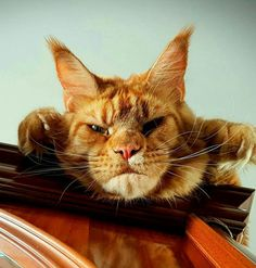 ❤️❤️ Funny Cats, Funny Animals, Cute Animals, Maine Coon Kittens, Cats And Kittens, I Love Cats, Cool Cats, Cat Expressions, Cat Traps