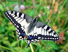 This species of butterfly, Papilio machaon, is found primarily in Europe and Asia, but populations are becoming more scarce and confined. Other regions where Papilio machaon can be found include Canada, Alaska, and California.