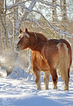 Beautiful Draft horse in winter.-from Wiki- Belgian Heavy Horse, draft breed from Brabant region of Belgium-following WWll in U.S. Brabant bred to be somewhat taller and lighter than Brabant of Belgium. thus the name Belgian, color, chestnut or red with flaxen mane and tail, used in farm work, show horses, pleasure riding, can pull tremendous weight.  Brabrant of Belgium selectively bred to be thicker bodied and heavier, used for meat, farm work, colors blue roan, bay and gray, among others