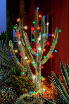 Glowing lights on my oldest cactus in my cactus and succulent garden. Large old style lights carefully hanging among the sharp thorns, creating a nice non traditional Christmas tree. Christmas Lights Outdoor Trees, Cactus Christmas Trees, Christmas Deserts, Noel Christmas, Outdoor Christmas Decorations, Light Decorations, Christmas Ornaments, Holiday Decor, Winter Decorations