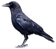 Crow/ Google Image Result for http://www.birds.cornell.edu/crows/AP%20HART93%2020Mar10%20cutout_kjm5340.png