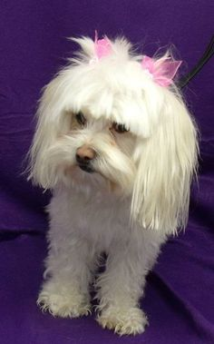 You can fill out an adoption application online on our official website.Violet is a 1 to 2 year old Maltese girl who weighs about 9 lbs. She is super sweet, playful, and a happy girl in general. She is a bit shy at first, and is tentative when in...