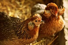 The Araucana chicken has some bizarre features; they are rumpless and have ear tufts. They also lay blue eggs, which makes them a very popular breed. Author Alan Standford shares breed history and reviews their attributes. Brown Eggs, Blue Eggs, Backyard Poultry, Chickens Backyard, Blue Chicken Eggs, Poultry Breeds, Rare Birds, Chicken Breeds, Farms Living