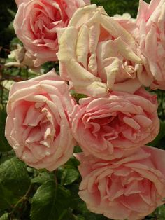 Pale pink roses at Notre Dame.