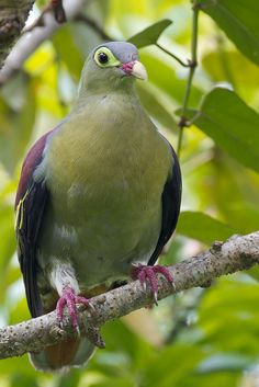 Thick-billed Green Pigeon  - by Francis Yap.