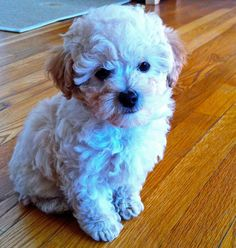 Pepe the Toy Poodle Pictures 1035667