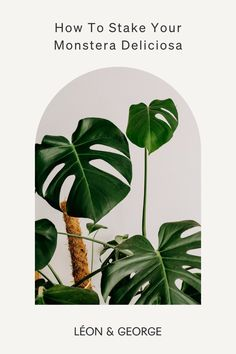 A few simple steps to easily stake your Monstera Deliciosa for optimal growth! #plantcare #plantstyling #houseplants Monstera Deliciosa, Garden Stakes, Plant Care, Houseplants, Plant Leaves, Simple, Indoor House Plants, Potted Plants
