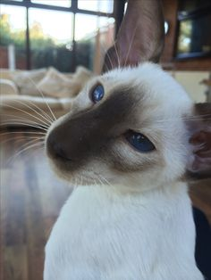 My Seal Point Siamese Cat