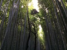 Arashiyama 嵐山的竹林 Japan Travel, Plants, Plant, Planting, Planets