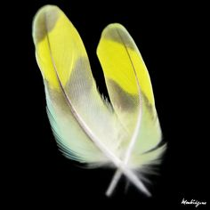 lovebird feathers