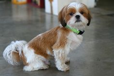#cute #Shih Tzu #dog, looks like Chulo!