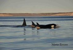 Again two days ago, September 16, orca were sighted in Puerto Piramides, Golfo Nuevo. It was Llen, her calf, Pao, Shekei and Jaluel.  (photo by Marisa Berzano)