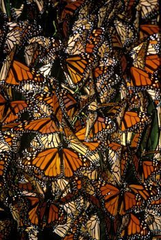 Title:	  MONARCH BUTTERFLY CLUSTER. ARDENWOOD REGIONAL PRESERVE. SAN FRANCISCO BAY AREA (M)    Photographer:	  Michael Sewell