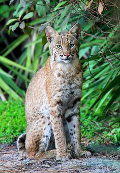 WILD Bobcat (Lynx rufus) - Florida Trip (by Steve Byland)