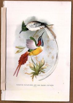 Paradise Flycatcher and Red Tailed Sun Bird 1872 H/C Litho