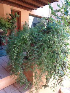 Asparagus densiflorus 'Sprengeri' https://lefotodiluisella.blogspot.it/2017/07/Asparagus-fiori.html