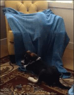 Tastefully Offensive on Tumblr, 4gifs: Cat Ops. [video]