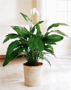 xanadu plante verte comment soigner une plante verte grce. Black Bedroom Furniture Sets. Home Design Ideas