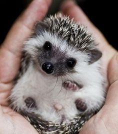 Baby hedgehog.  ♥