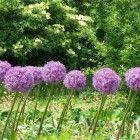 Zomerbloeiende bloembollen geven u tuin maanden lang kleur. Eén van de mooiste soorten is de Allium of sierui. Hij is er in prachtige kleuren, hoog en laag.