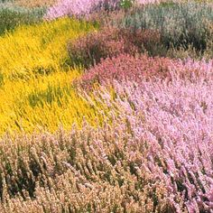 Heathers (Mar -April blooms)  Calluna vulgaris - more than 500 varieties available. Most are summer-blooming, ranging from white to rose to deep purple, and their foliage is green to fire orange. Most form low-growing mounds or spreading mats. For the heather lover in the North, these are the plants of choice, as opposed to the true heaths, which offer more colors but are less hardy. Calluna are typically hardy in Zones 5-7 but may thrive far north with adequate winter protection or snow…