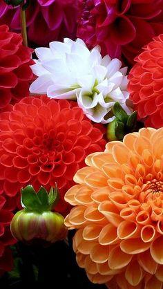 Dahlias Beautiful gorgeous pretty flowers