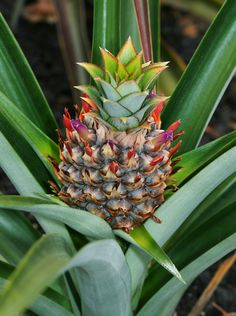 Ananas comosus – Pineapple - Hawaiian Plants and Tropical Flowers I have one on my deck! Tropical Flowers, Hawaiian Plants, Hawaiian Flowers, Exotic Flowers, Beautiful Flowers, Tropical Landscaping, Landscaping Plants, Tropical Garden, Tropical Plants