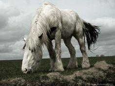 shire horse | Shire horse - Shire horses Photo (2180220) - Fanpop fanclubs