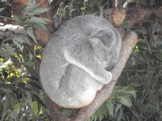 Koala Bear at Australia Zoo  #airnzsunshine