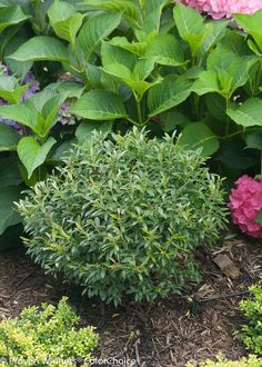 Find a list of the top 10 broadleaf evergreen shrubs for season-long interest. Learn about each shrub and compare your options for adding lush evergreen plants to your landscape. Boxwood Landscaping, Front Yard Landscaping, Backyard Landscaping, Landscaping Ideas, Landscaping Software, Farmhouse Landscaping, Modern Landscaping, Landscaping Company, Backyard Ideas