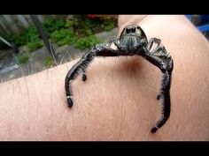 ▶ Biggest jumping spider EVER!! and is NOT poisonous ~ just curious. Jumping spiders have some of the best vision among arthropods and use it in courtship, hunting, and navigation. Although they normally move unobtrusively and fairly slowly, most species are capable of very agile jumps, notably when hunting, but sometimes in response to sudden threats.