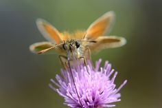 https://flic.kr/p/fncA6t | Small Skipper (Thymelicus sylvestris) | One of my favourite butterflies (just look at that cute teddy face!) and lovely to have seen a few Skippers around this year! :)