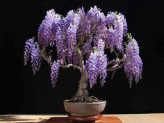 wisteria bonsai I would never have the patience to take care of a bonsai tree. This is gorgeous though.