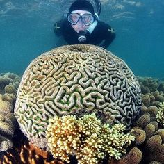 A different kind of brain...This Brain Coral being carefully overlooked by @johnny_gaskell. One of many varieties of beautiful coral found in the Whitsundays & Great Barrier Reef fringing reefs. #CharterYachtsAustralia #GoBareboating by charteryachtsaustralia http://ift.tt/1UokkV2