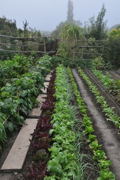 wooden planks between rows of vegetables enabling you to keep a straight line and be able to work without trampling on things.