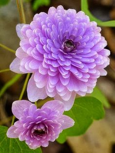 Hepatica Hepatica is a genus of herbaceous perennials in the buttercup family, native to central and northern Europe, Asia and eastern North America. Some botanists include Hepatica within a wider interpretation of Anemone.
