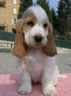 """Visit our website for even more details on """"cocker spaniel puppies"""". It is an outstanding place for more information. Perro Cocker Spaniel, English Cocker Spaniel Puppies, Orange Roan Cocker Spaniel, Cute Puppies, Cute Dogs, Dogs And Puppies, Corgi Puppies, Beagle, Doggies"""