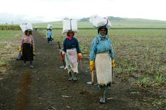 Sugar cane field workers, early in the morning. Mauritius