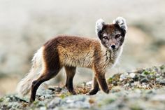 The elusive Arctic fox, Svalbard