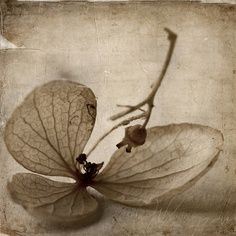 """neutralnotes: """" whisper… (by ~ania♥) """" Still Life Photography, Art Photography, Leaves Of Grass, Seed Pods, Photo Art, Illustration, Monochrome, Painting, Seeds"""