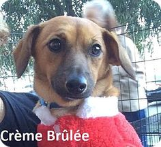 Lake Forest, CA - Chihuahua/Dachshund Mix. Meet Crème Brûlée, a dog for adoption. http://www.adoptapet.com/pet/17268221-lake-forest-california-chihuahua-mix