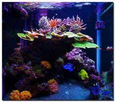 Saltwater reef tank. Love the Monti caps!!!