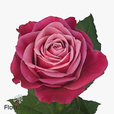 Susan Roses are a purply colour & usually available all year round. 70cm stem lengths this wholesale cut flower is wholesaled in 20 stem wraps.