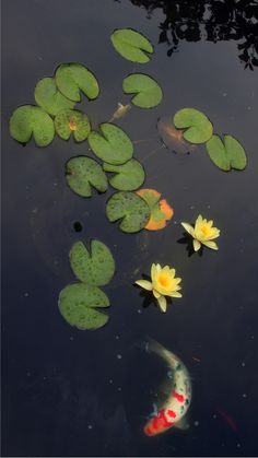 pond, water gardens, gardens, Koi pond., pined from Gina Signore